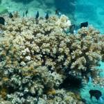 Kleine Koralle mit noch kleinere Fischlein