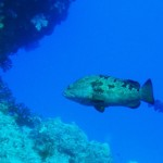 a little Grouper