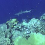 A little white-tip shark at the 'Four Sisters'