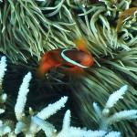 Ein 'Orange-Ringel-Anemonenfisch'