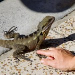 Not afraid at all (both Gui and the Iguana)
