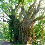 Riesiger Bayan Tree - wer versteckt sich da ?