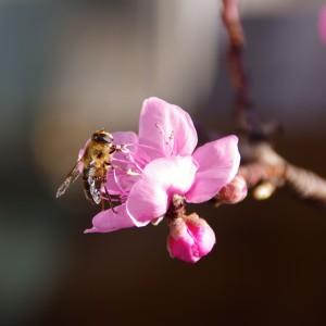 Und die erste Biene macht sich ans Werk